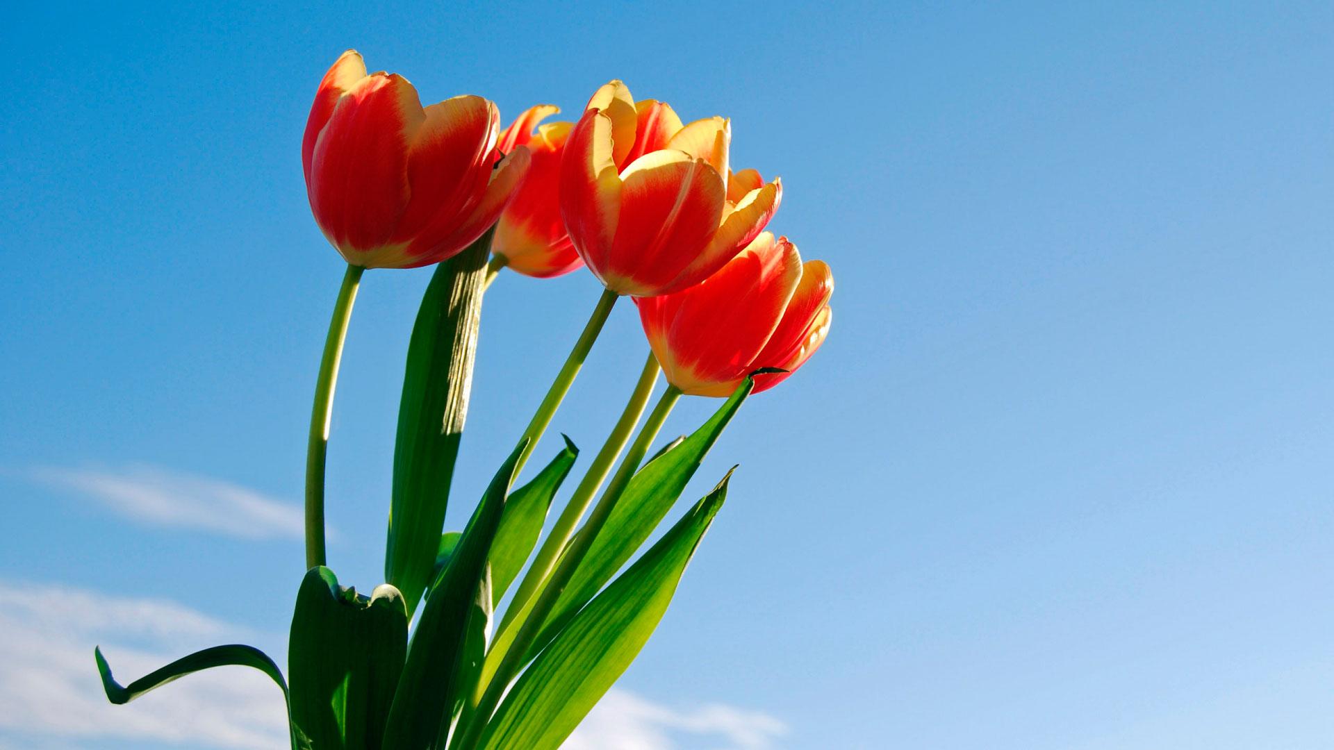 тюльпаны фото широкоформатные