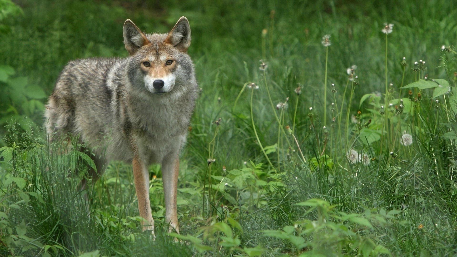 Обои Волк в лесу, картинки - Обои для рабочего стола Волк ...