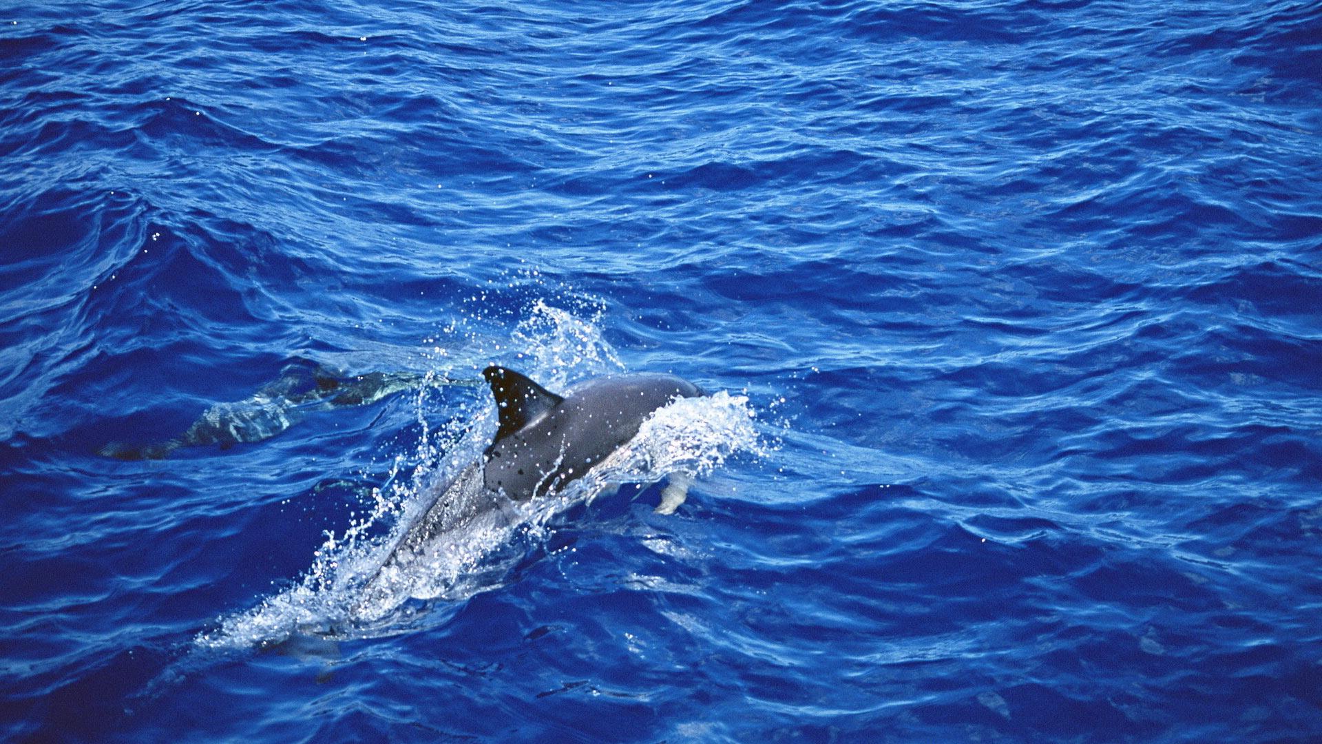 Обои Дельфины в море, картинки - Обои для рабочего стола ...