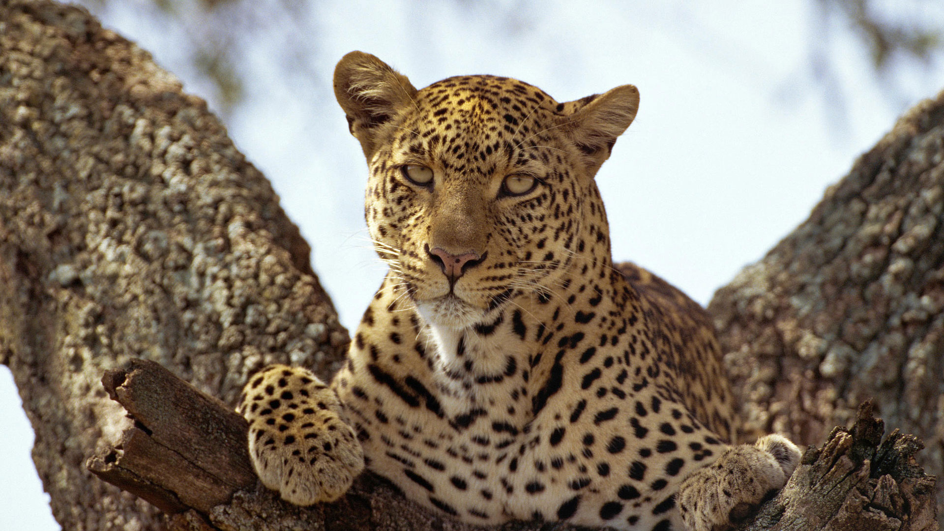 школа картинки с леопардами на рабочий стол познакомим вас